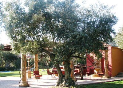 """<span class= """"e"""">5</span> 125yr old Ascolano Olive trees"""
