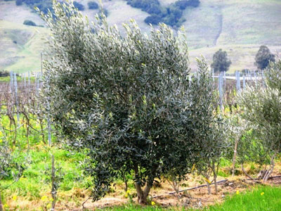 "<span class= ""b"">2</span> 5 to 7ft Multi Field Grown Tuscan OLIVE"