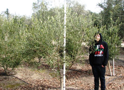 "<span class=""c"">3</span> 5ft to 7ftField Grown Fruitless Olive Trees"