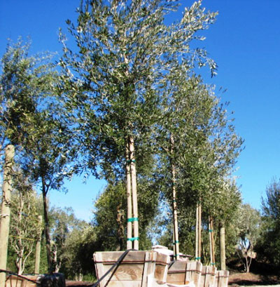 "<span class=""c"">3</span> 9ft Fruitless Standard Trunk"