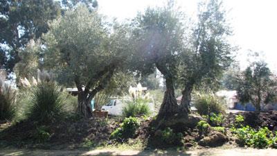 "<span class= ""e"">5</span> Mature olives"