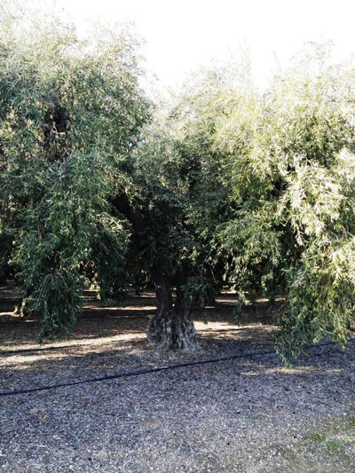 "<span class=""e"">5</span> Mature olives"