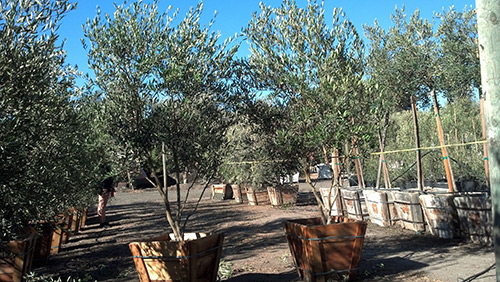 Fruitless Olive Trees Farm Nursery California
