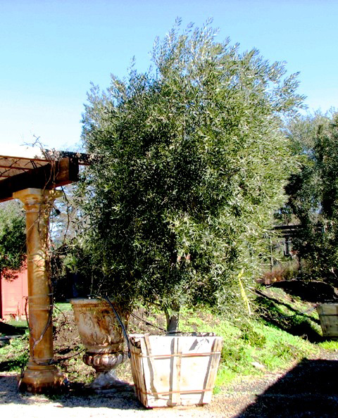 Swan Hill Fruitless Olive Tree