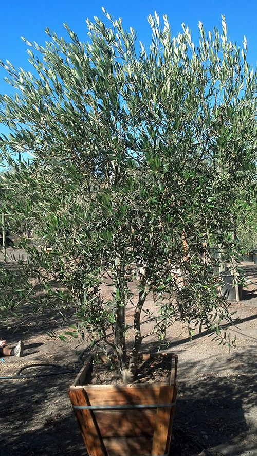 Fruitless olive trees farm nursery california for What to plant under olive trees