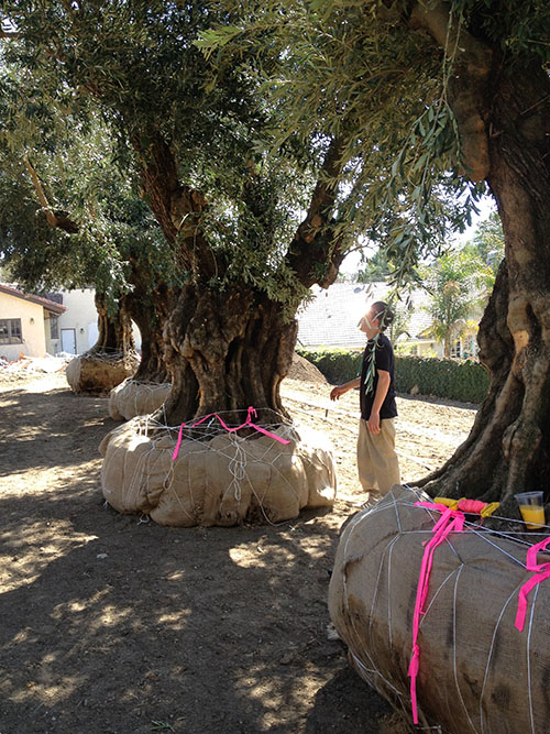 The First Tree To Be Selected By Man Olive And History Of Mediterranean Civilization Have Been Bound Together For More Than Seven Thousand