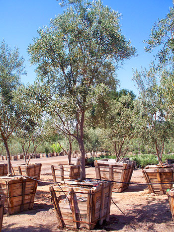 Fruitless olive trees wallpapers