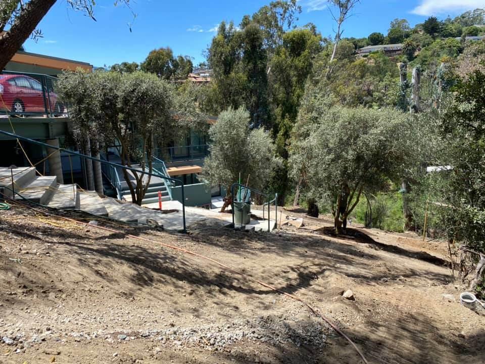 Installing Swan Hill olive trees in San Rafael