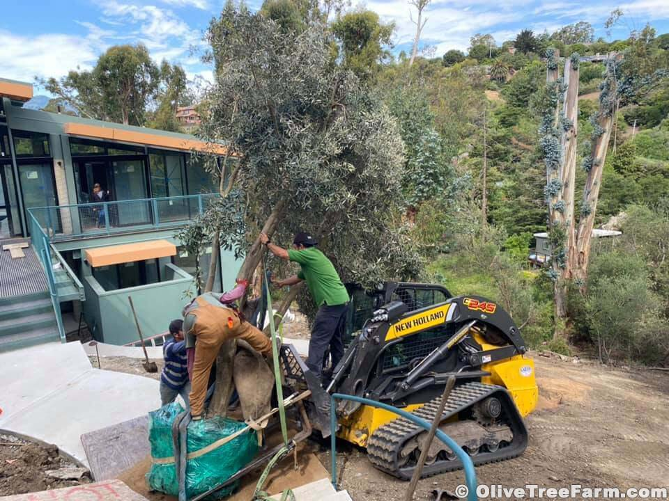 Tractor and 3 landscapers installing Swan Hill olive trees in San Rafael