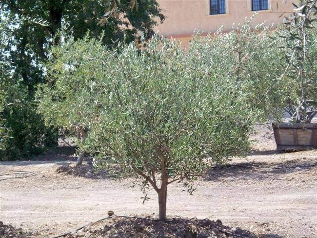 20 yr. old Tuscan olive tree planted in ground