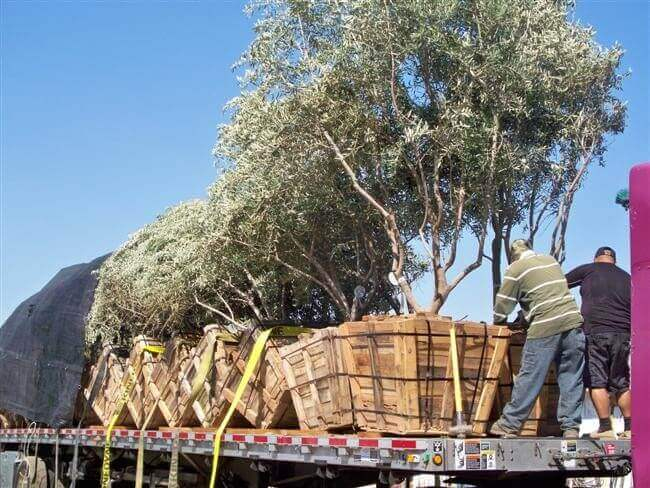 Unloading Trees in San Diego off of flatbed truck