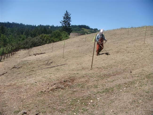 Man removing weeds from olive tree planting site