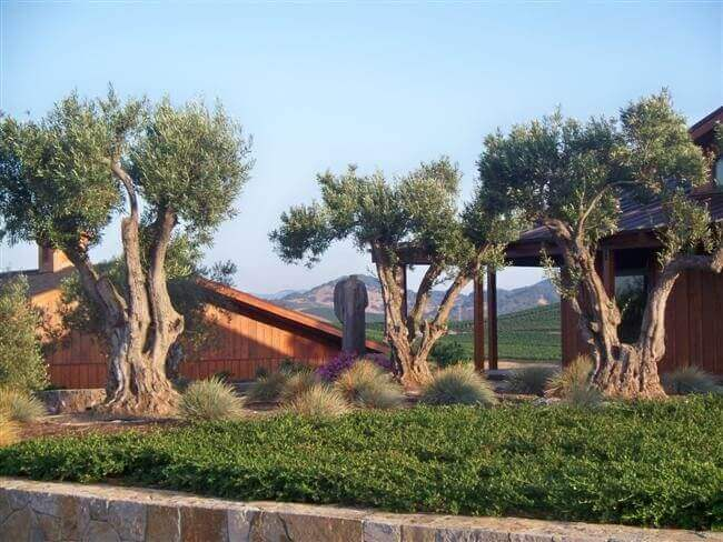 Aged olive trees planted next to brown building