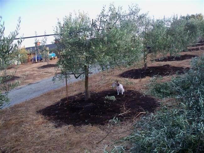 Dog sitting next to freshly pruned olive tree