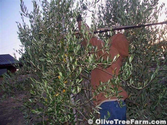 Early morning stretching pruning the top branches of an olive tree