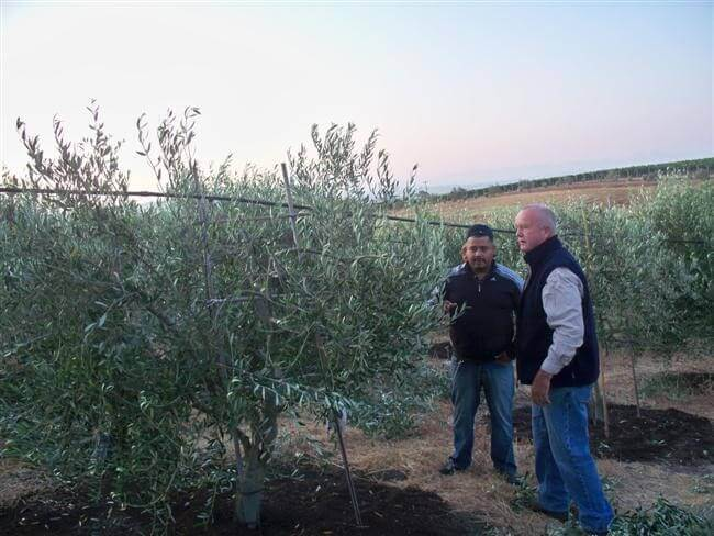 Two men standing next to olive trees