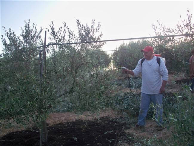 Spraying olive trees with nutrients