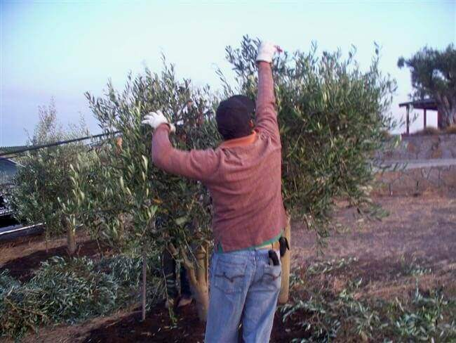Man with gloves pruning the top of an olive tree