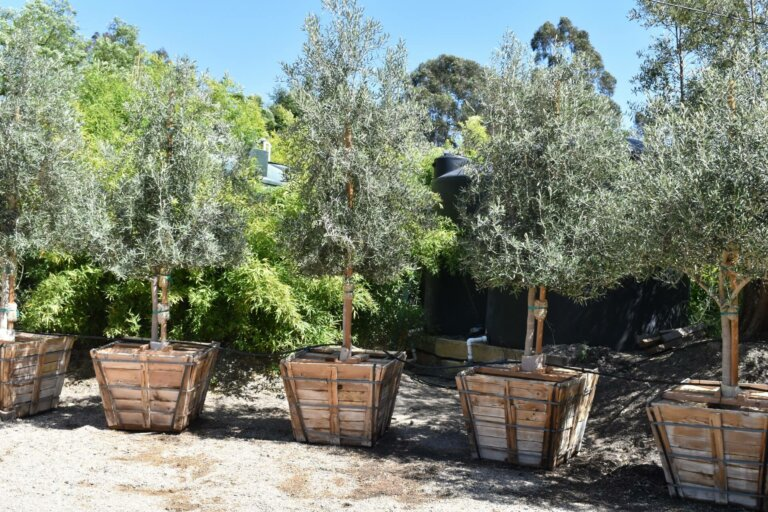 Swan Hill Fruitless Olive Trees in wooden boxes for sale