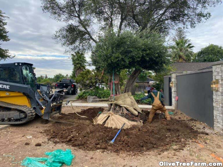 Installing Swan Hill fruitless olive trees with tractor in front yard