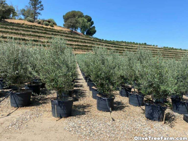Swan Hill olive trees in pots