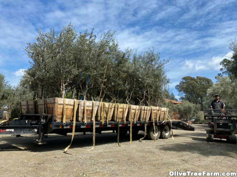 Swan Hill fruitless olive trees on back of truck