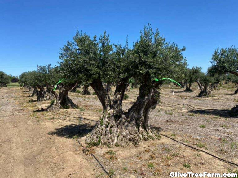 Mature olive trees in the orchard