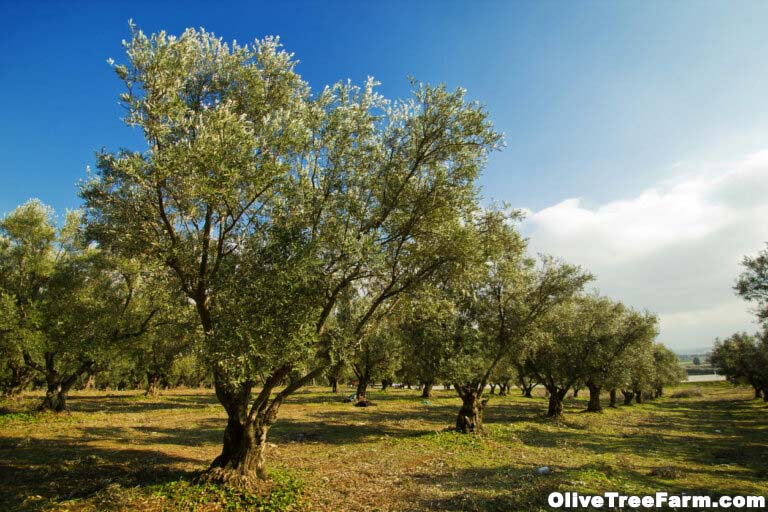 Orchard of mature olive trees.